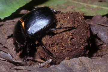 dung-beetle-facts