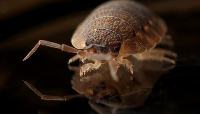 armadillo-worm-bug-insect (1)